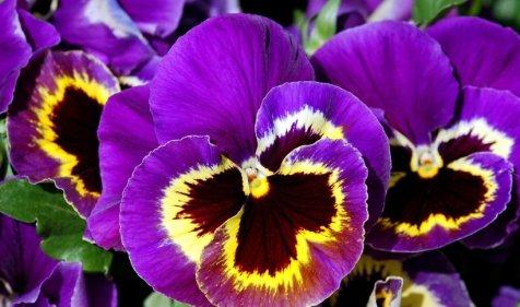 fioletowo-zolty-kwiat-bratka-323763-article