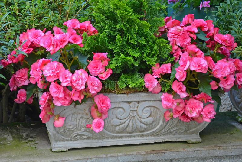 piękne-różowe-begonie-32620121